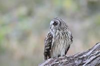 コミミズク Ⅲ 木止まり - 気まぐれ野鳥写真