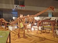 ギガ恐竜展2017:「歩く・走る」~古竜脚類、オルニトミモサウルス類 - 続々・動物園ありマス。