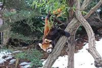 残雪の多摩動物公園~レッサーパンダ母娘とシャモア「モンブラン」 - 続々・動物園ありマス。