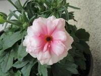 元気なアリアドネと残念なアプリコット・ラナンキュラス - bowerbird garden ~私はニワシドリ~