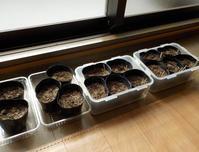 A町の話<豆の苗を育て始める> - さぬき日記