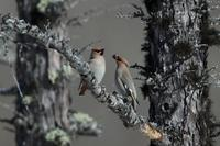 樹連雀 - 野鳥フレンド  撮り日記