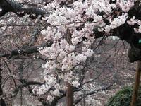 上野恩賜公園の桜が開花していました。 - 動物園のど!