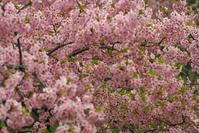 河津桜と大和三山 - まほろば 写真俳句