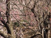 枝垂れ桜蜜を吸うメジロ - エンジェルの画日記・音楽の散歩道