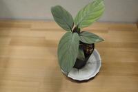 "Homalomena sp. 'Silver' ""North Sumatera"" - PlantsCade -2nd effort"