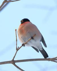 ポッテリとした身体に伸びる首 - 北の大地で野鳥ときどきフライフィッシング