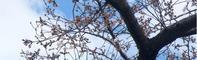 きよう,「近くの公園」の桜が開花しました - 楽餓鬼