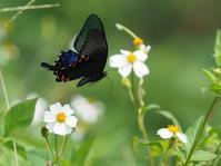 ヤエヤマカラスアゲハ - 風の翅