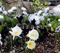 ホワイトガーデンに - 花の庭づくり庭ぐらしガーデニングキララ