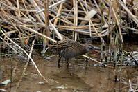 クイナ撮りへ(水浴びする姿も見られました) - 私の鳥撮り散歩