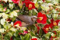 椿の花とヒヨドリ - 武蔵野散歩Ⅱ