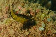 18.3.22ヘビギンポあそび - 沖縄本島 島んちゅガイドの『ダイビング日誌』