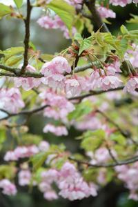 ◆花情報◆河津桜 - 名鉄犬山ホテル情報