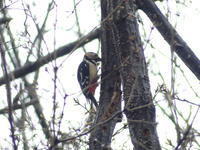 春の陽気に戻った朝、アカゲラ・ジョウビタキ♀・シメ・・・八王子 - 浅川野鳥散歩