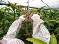 完熟アップルマンゴー開花の様子と惜しまぬ手間ひまの花吊り作業 - FLCパートナーズストア