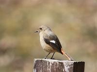今日の鳥さん180317 - 万願寺通信
