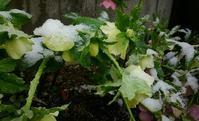 雪が降って来て…びっくり! - 井ノ中カワズの井戸端ばなし