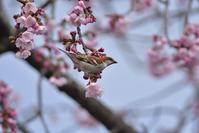 5分咲きのオオカンザクラに - 季節の映ろひ