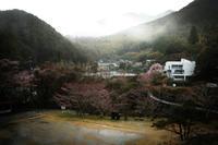 桜が咲くと雨が降る - ぴんの助でございます