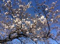 桜は3分咲き  桜レポート   浜松市佐鳴湖   2018 - Hawaiian LomiLomi サロン  華(レフア)邸