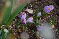 クロッカスが咲いたマイガーデン - 季節の風を追いかけて