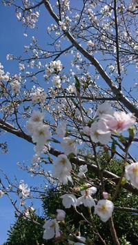 桜 - 山脇農園ブログ