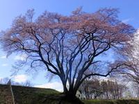 氏邦桜3月23日(金) - しんちゃんの七輪陶芸、12年の日常