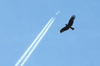 大空高く - ひとり野鳥の会