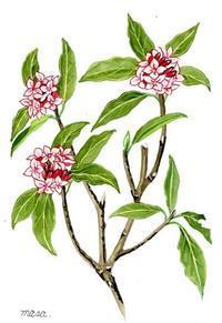 沈丁花の香り - がちゃぴん秀子の日記
