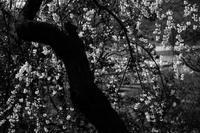 枝垂れ桜 - この道は風なり