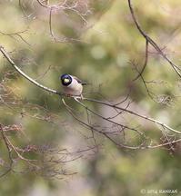 コイカル男子 - 鳥待ち写真日記