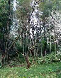 梅の木は残った - 金沢犀川温泉 川端の湯宿「滝亭」BLOG