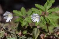 アズマイチゲ - あだっちゃんの花鳥風月