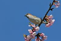 大寒桜とニュウナイスズメ - 四季の予感