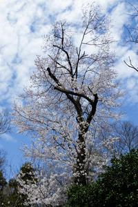 気がつけば散歩道の桜も満開 - 彩りの軌跡