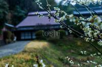 茶畑と梅 - toshi の ならはまほろば