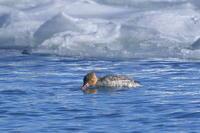 氷の海のウミアイサ - 彩の国 夢見人のフォト日記