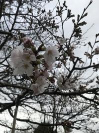 咲き始めた桜を発見 - 下駄げたライフ