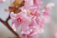 桜咲く - かたくち鰯の写真日記2