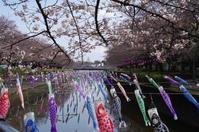 桜の開花とこいのぼり - 季節の風を追いかけて