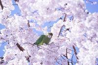 宝幢寺のしだれ桜 - デジカメ一眼レフ開眼への道