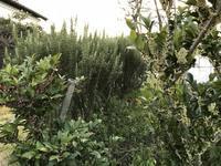 仏事に使う樹木に花が咲く - 島暮らしのケセラセラ