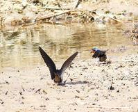 リュウキュウツバメなど・・・ - 一期一会の野鳥たち
