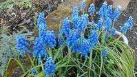 ムスカリ - だんご虫の花