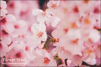 銀座の桜 - すずちゃんのカメラ!かめら!camera!