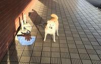日射しがあたたかい - 柴犬さくら、北国に生きる