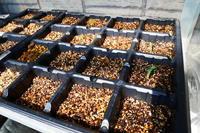 春夏野菜もポット作り芽吹き! - 畑であそぶ ~のんびり家庭菜園・畑しごと~