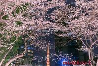 ライトアップの桜と東京タワー六本木 - 風景写真家 鐘ヶ江道彦のフォトブログ