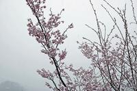 花桃の綿帽子 - 何でも写真館